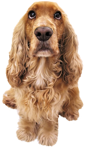a brown Cocker spaniel looking straight